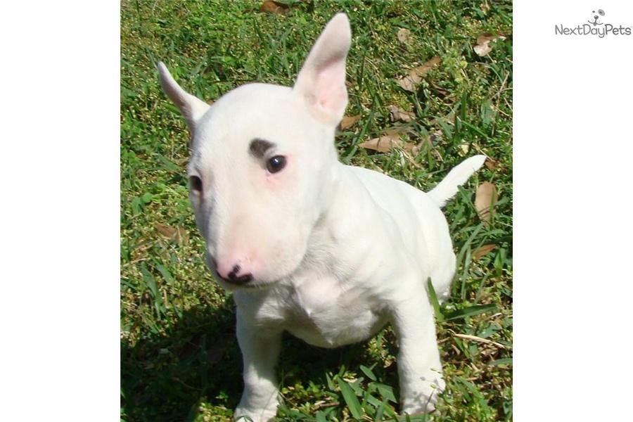 Bull Terrier (Miniature) Puppies: Bull Dfa B Breed