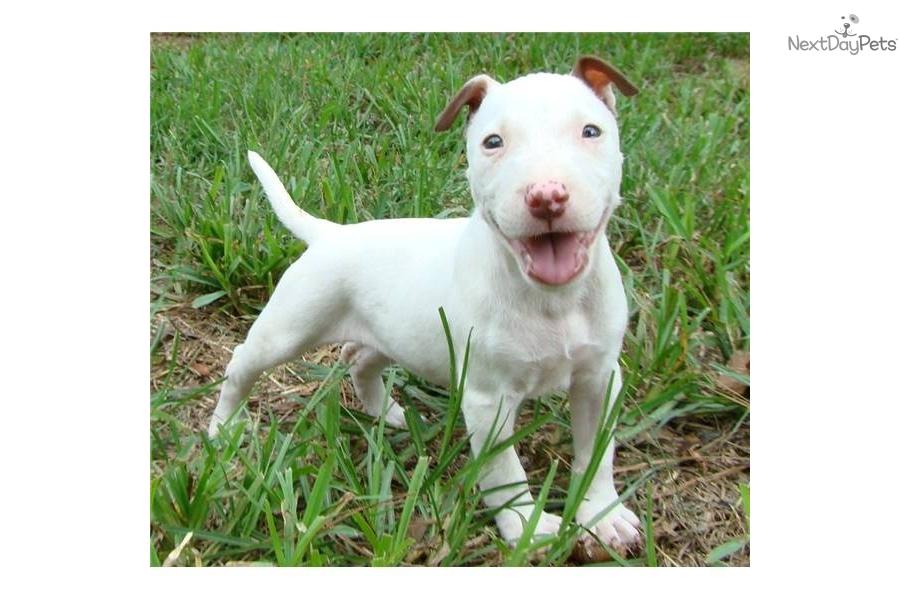 Bull Terrier (Miniature) Puppies: Bull Eeecb B Breed