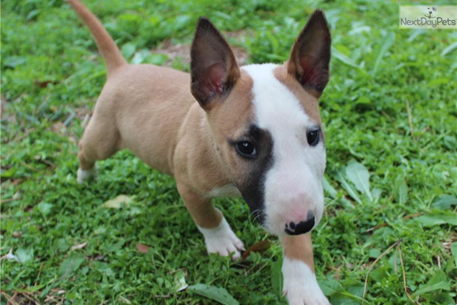 Bull Terrier (Miniature) Puppies: Bull Efa E Breed