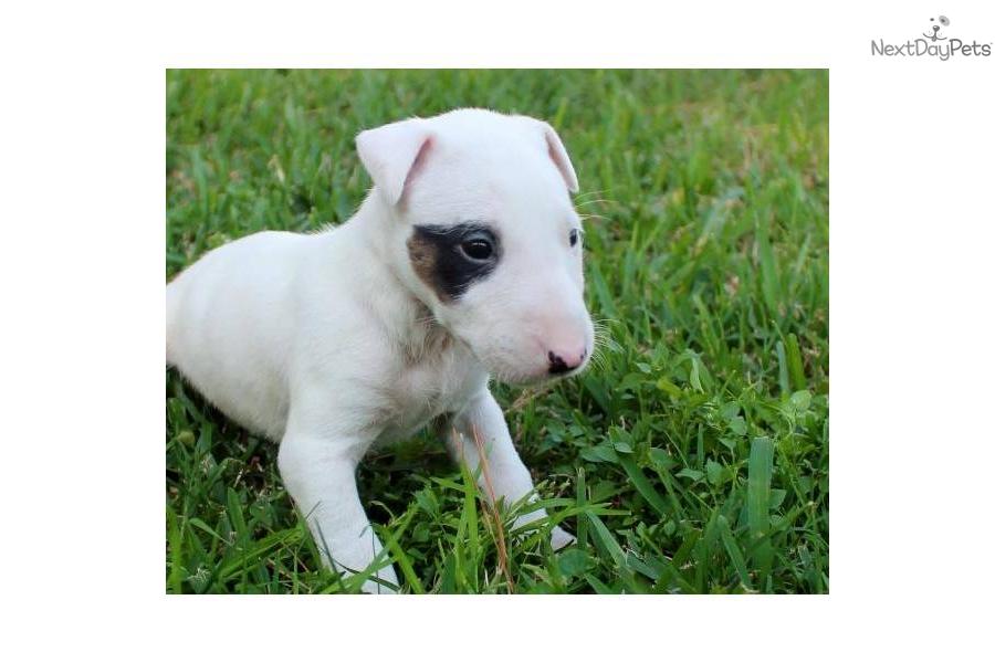 Bull Terrier (Miniature) Dog: Bull Fe Ea Breed
