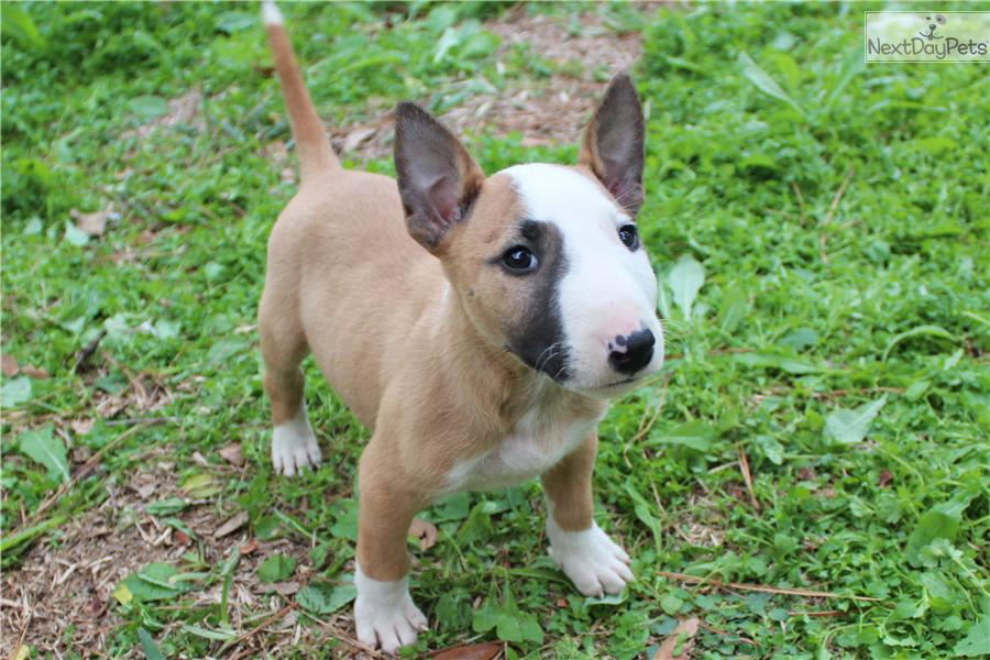 Bull Terrier (Miniature) Puppies: Bull Miniature Bull Terrier Puppies Breed