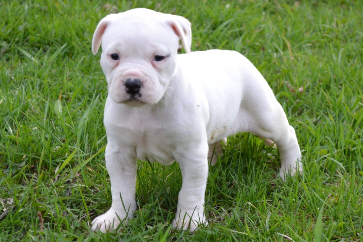 Bulldog Puppies: Bulldog Previous Puppies Breed
