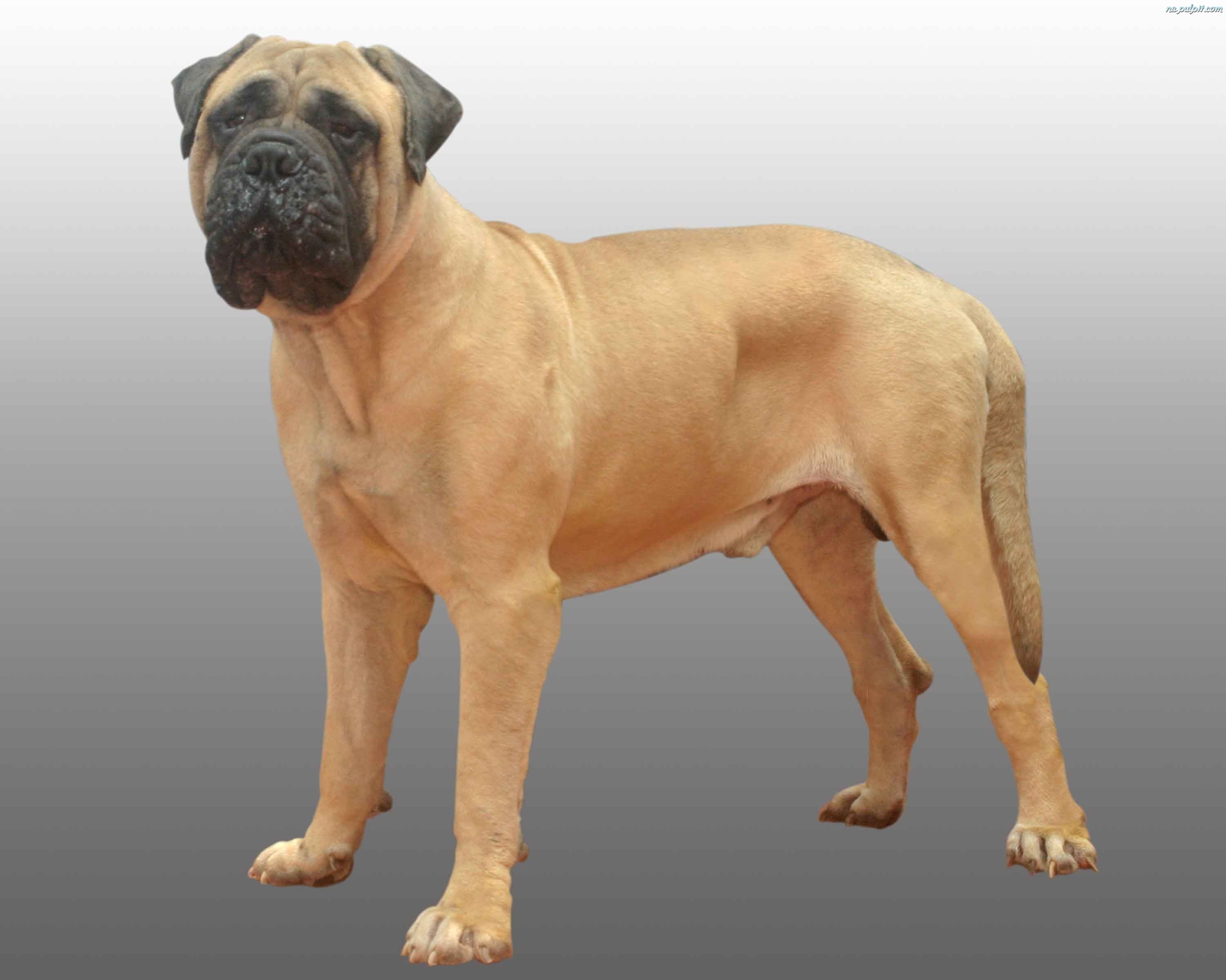 Bullmastiff Dog: Bullmastiff Bullmastiff Dog Picture Breed