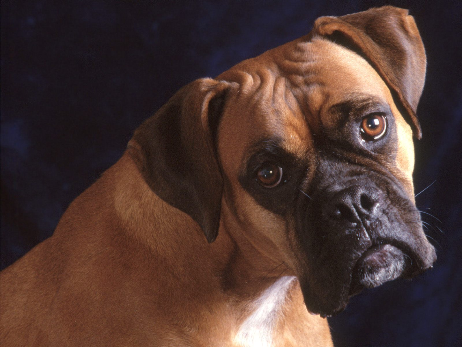 Bullmastiff Dog: Bullmastiff Bullmastiff Dogs Breed