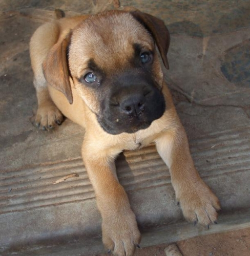 Bullmastiff Puppies: Bullmastiff Bullmastiff Puppies Hondjies Breed