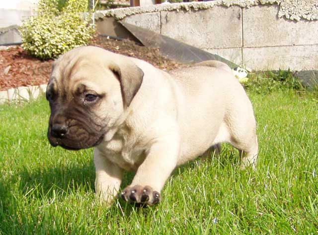 Bullmastiff Puppies: Bullmastiff Bullmastiff Puppies Pictures And Breed