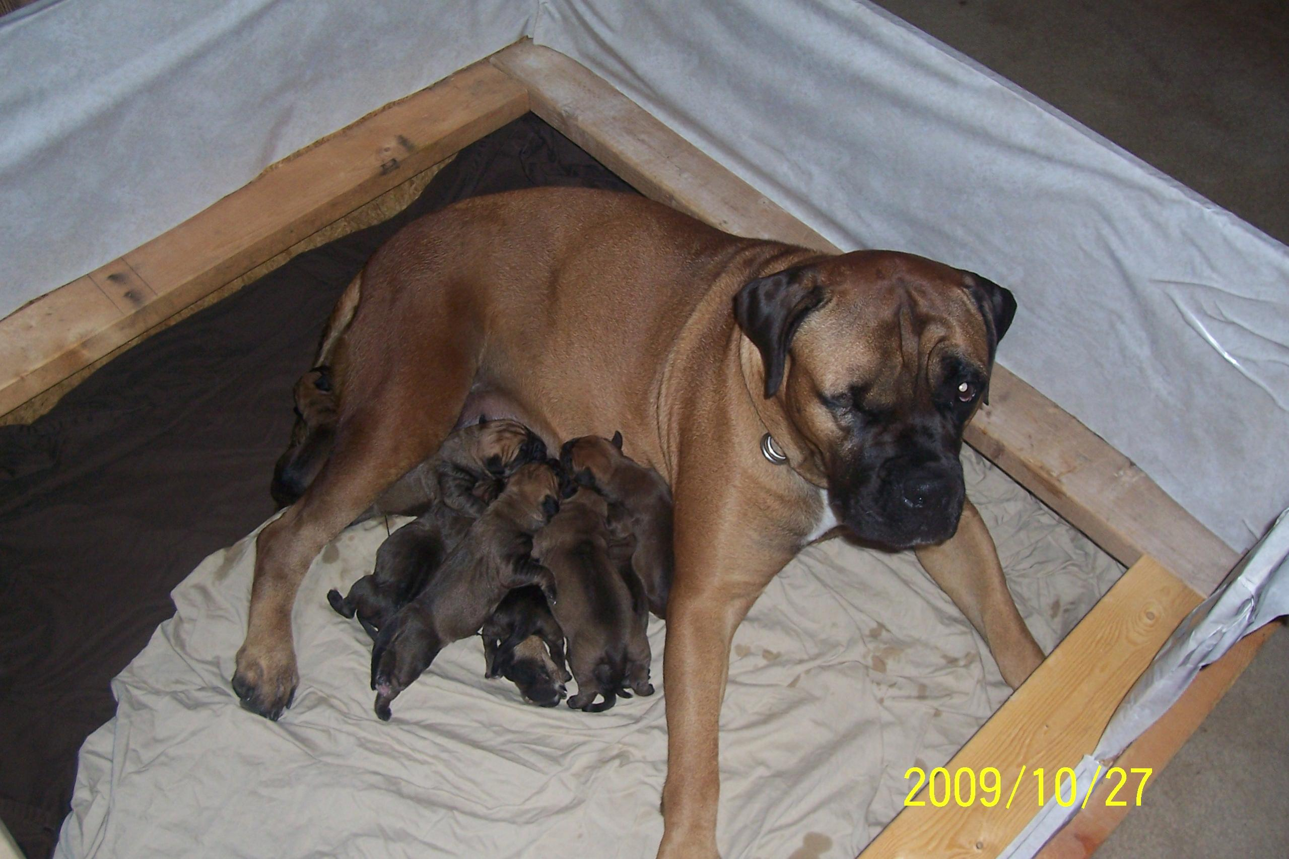 Bullmastiff Puppies: Bullmastiff Bullmastiff Puppies Reviews And S Breed