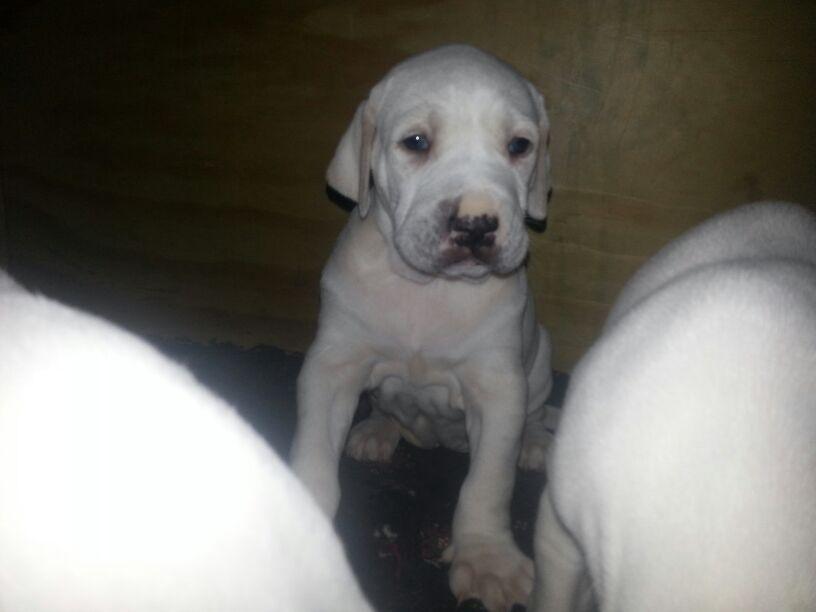 Bully Kutta Dog: Bully Bully Kutta Puppies Birmingham Breed