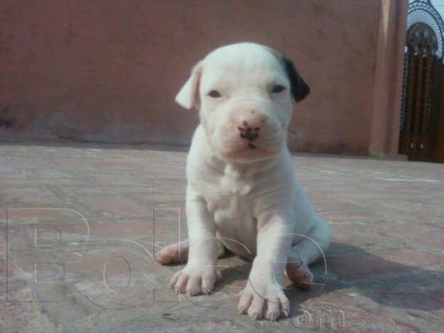 Bully Kutta Puppies: Bully Bully Kutta Puppies Breed