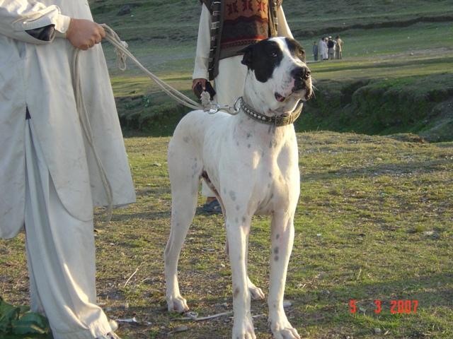 Bully Kutta Dog: Bully Display Breed