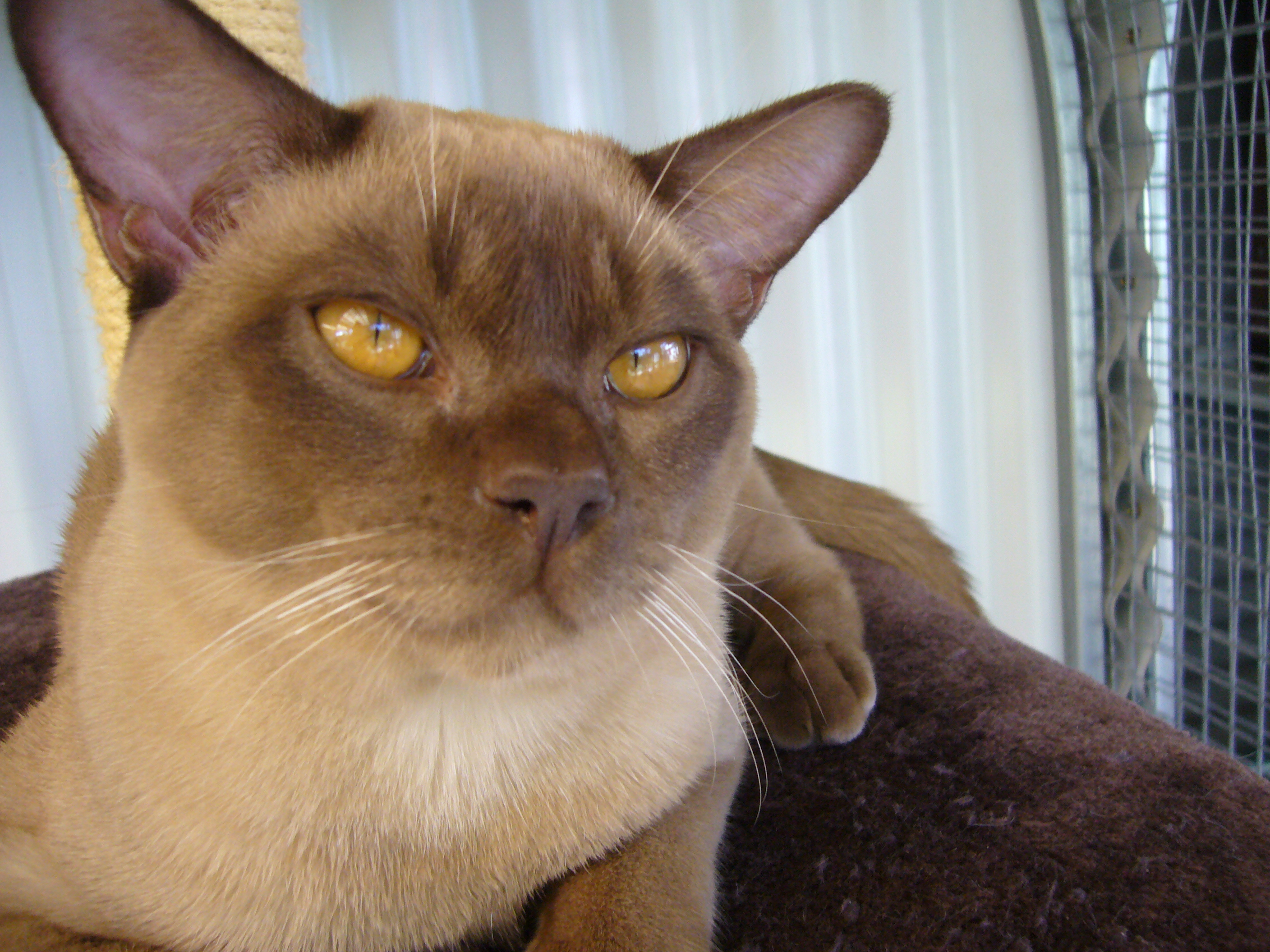 Burmese Cat: Burmese About Burmese Natmac Cats Kittens What Natmac Burmese Do Burmese Kittens Burmese Cats Breed