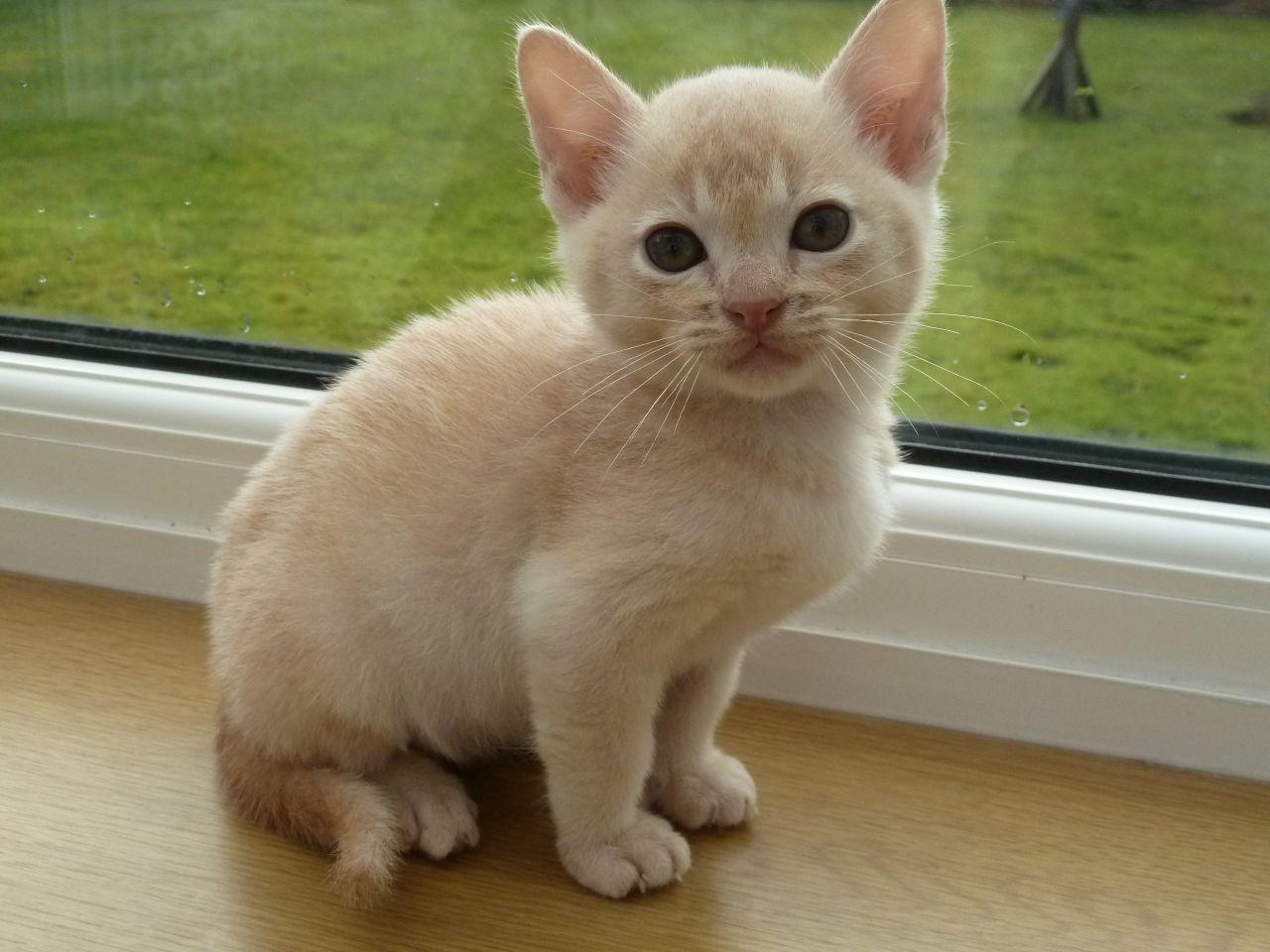 Burmese Kitten: Burmese Beautiful Burmese Kitten Altrincham Breed