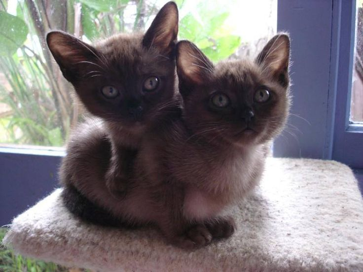 Burmese Kitten - Puppy Dog Gallery