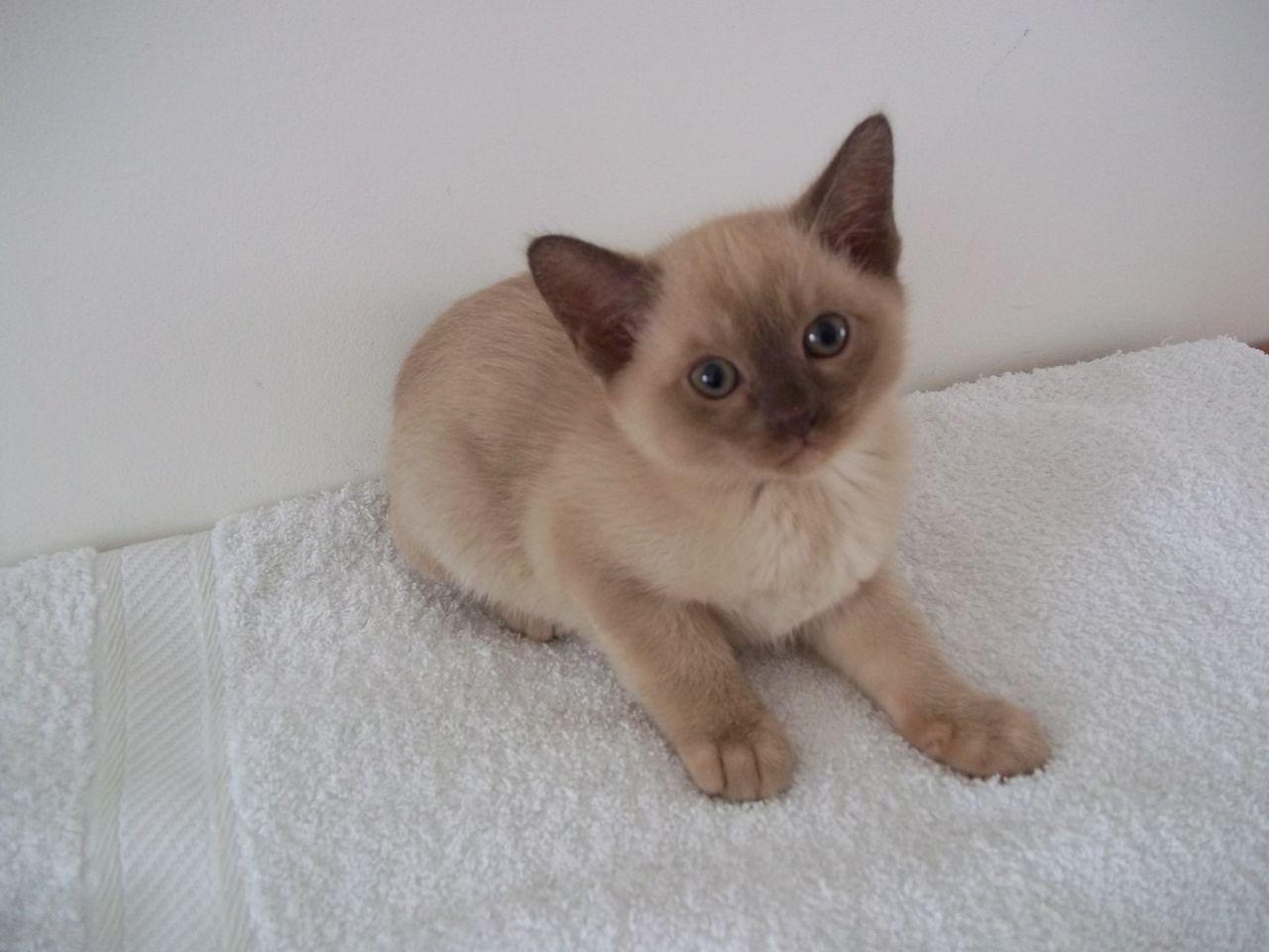 Burmese Kitten: Burmese Bumese Variant Kittens Shrewsbury Breed