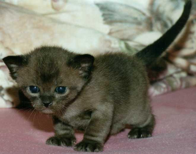Burmese Kitten: Burmese Burmese Cats Breed