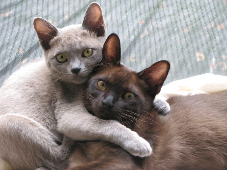 Burmese Kitten: Burmese Burmese Kittens Breed