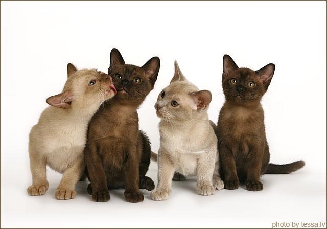 Burmese Kitten: Burmese Cat Breeds Burmese Cat