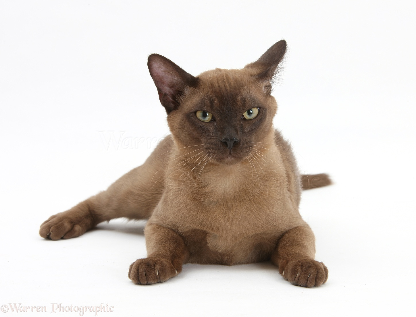 Burmese Cat: Burmese Cat Urine Breed