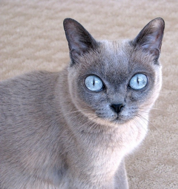 Burmese Cat: Burmese Gray Burmese Cat Breed