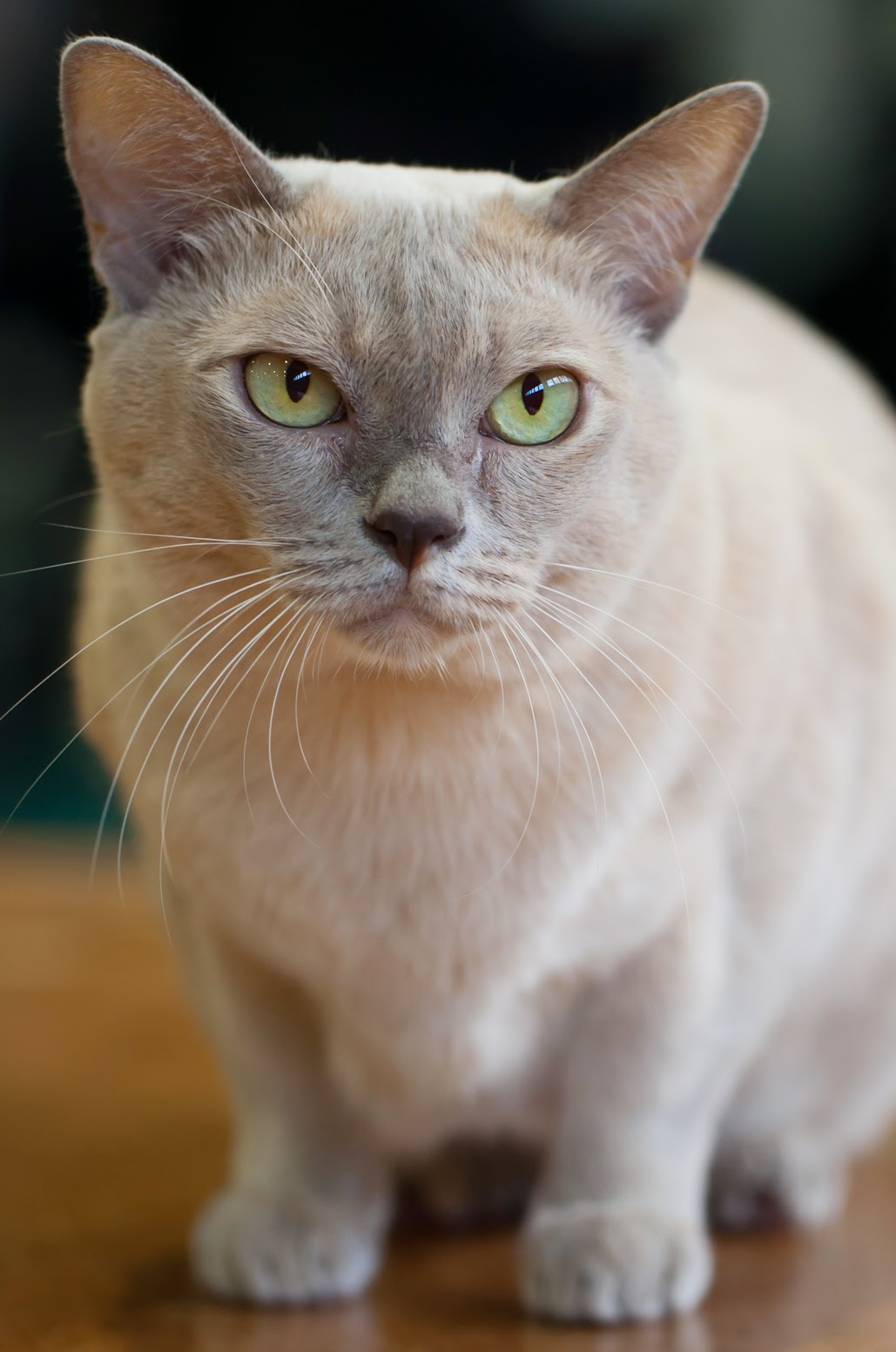 Burmese Cat: Burmese Size And Weight Of Burmese Cats Breed
