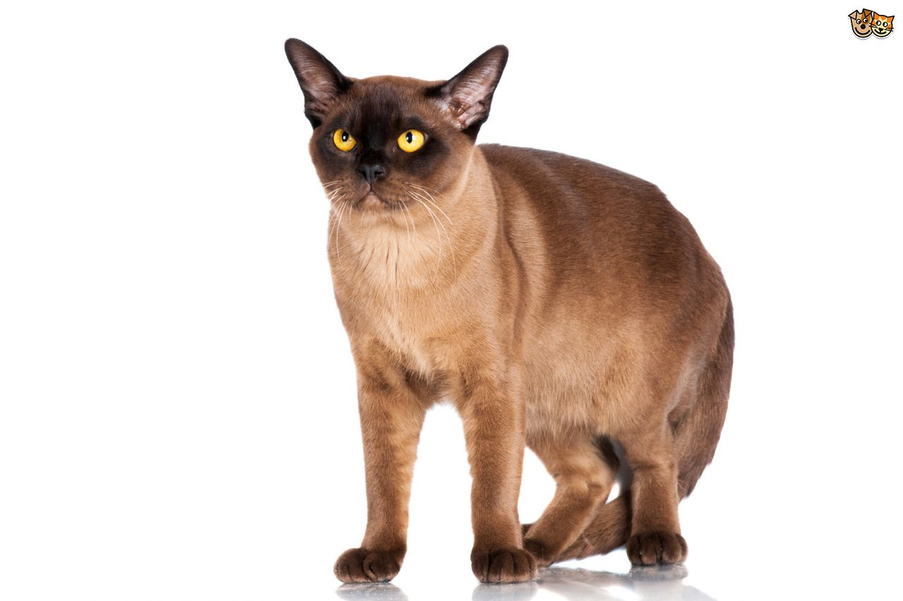 Burmese Cat: Burmese The Burmese Cat Health Concerns Breed