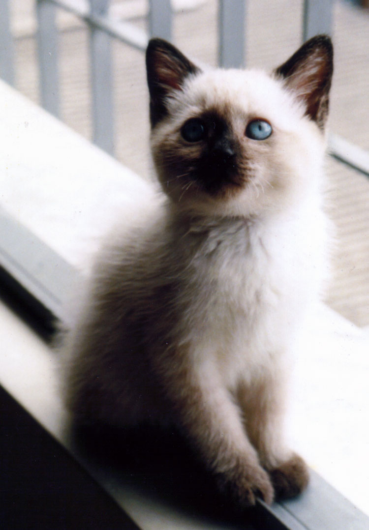 Burmese Kitten: Burmese Very Cute Kitten Breed