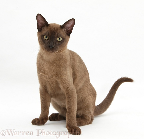 Burmese Cat: Burmese Young Burmese Cat Breed