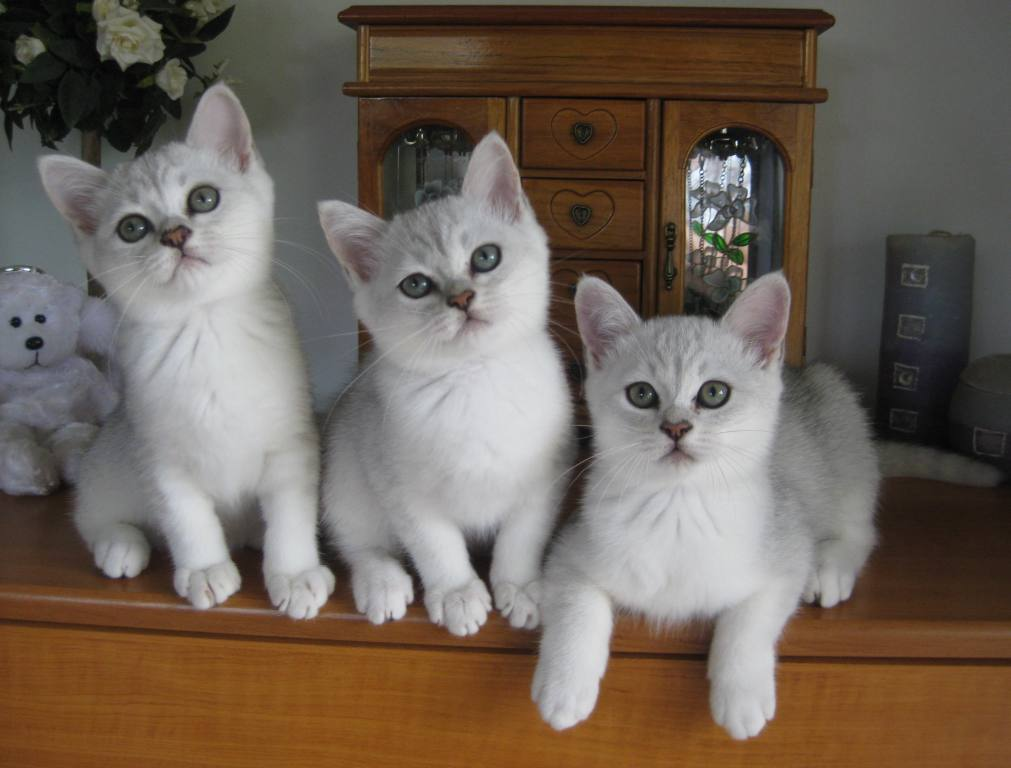 Burmilla Cat: Burmilla Burmilla Longhair Cat Breed
