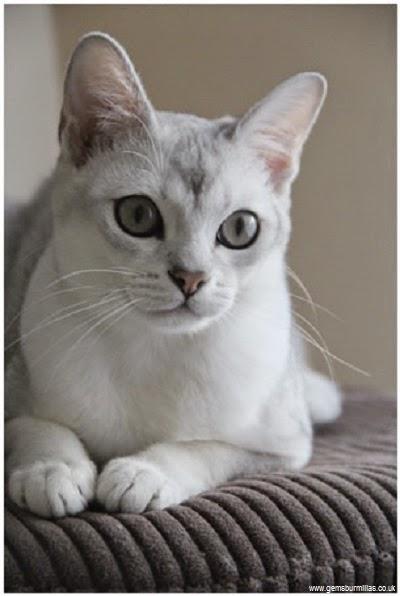 Burmilla Cat: Burmilla Chat Burmilla Breed