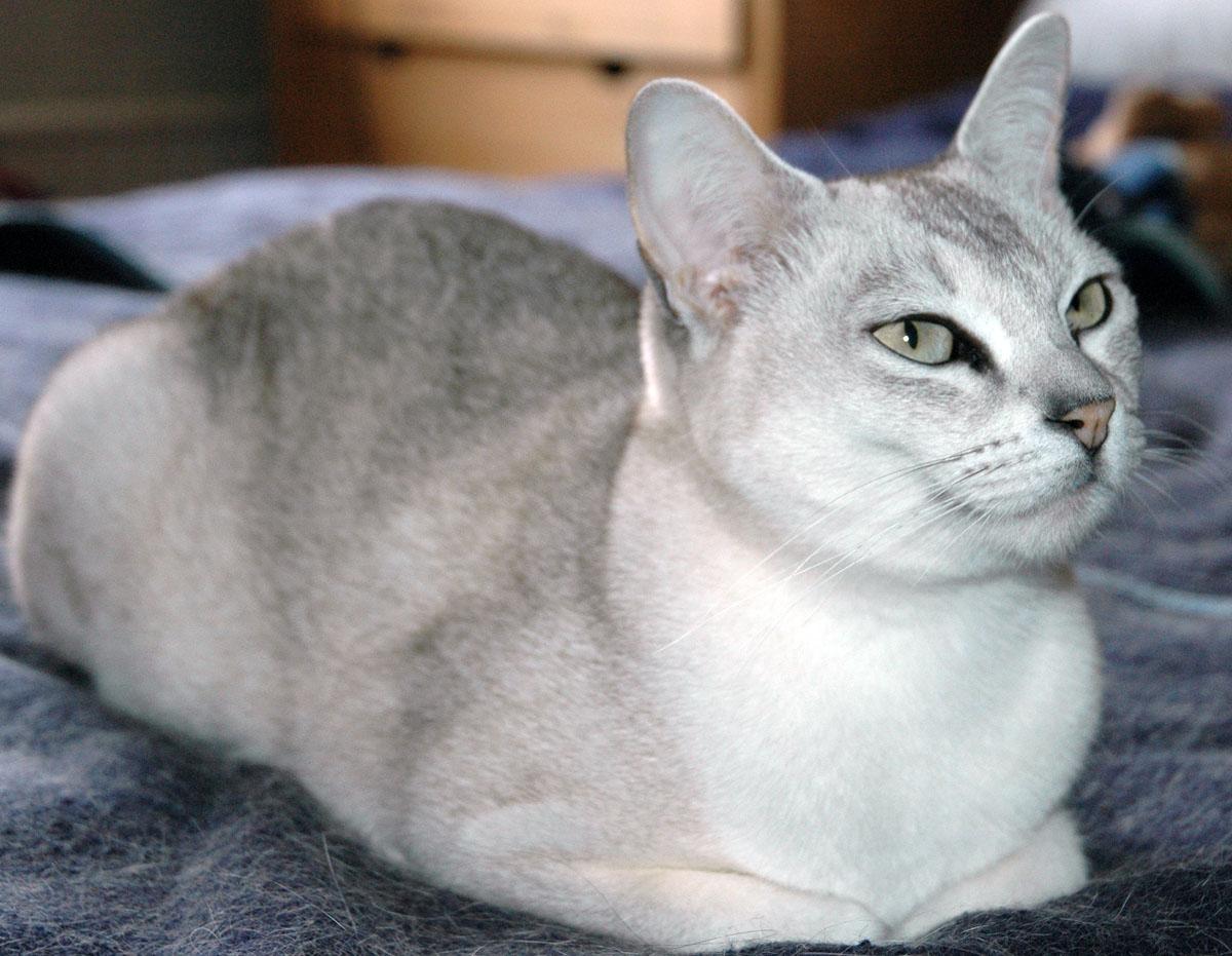 Burmilla Cat: Burmilla Il Burmilla Breed