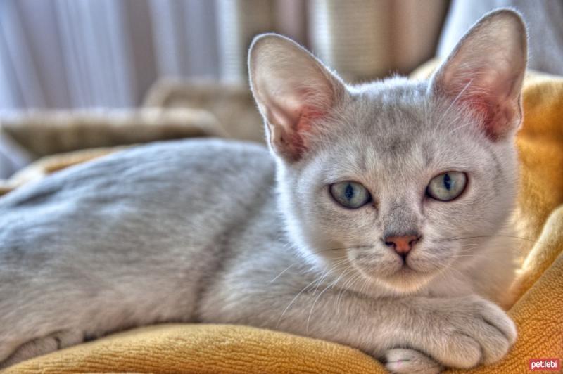 Burmilla Cat: Burmilla Ozellikleri Breed