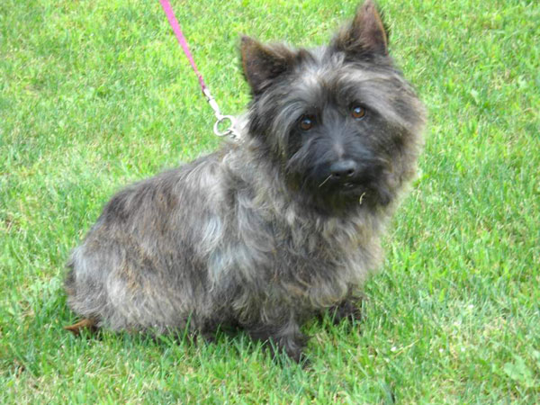 Cairn Terrier Puppies: Cairn Breed