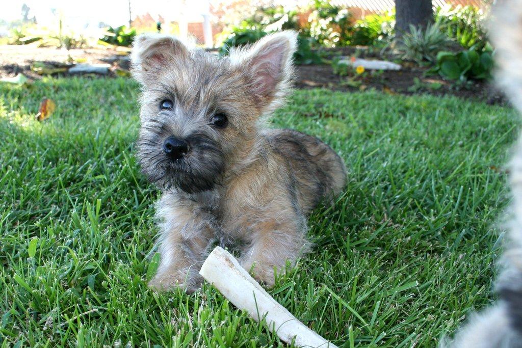 Cairn Terrier Puppies - Puppy Dog Gallery