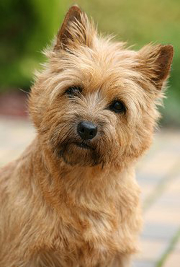 Cairn Terrier Dog: Cairn Cairn Terrier Dog Breed