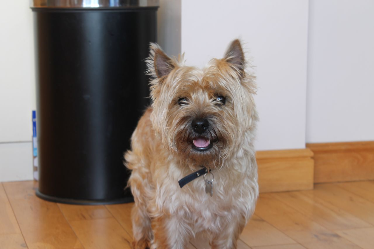 Cairn Terrier Dog: Cairn Cairn Terrier Fantastic Dog For Stud Keighley Breed
