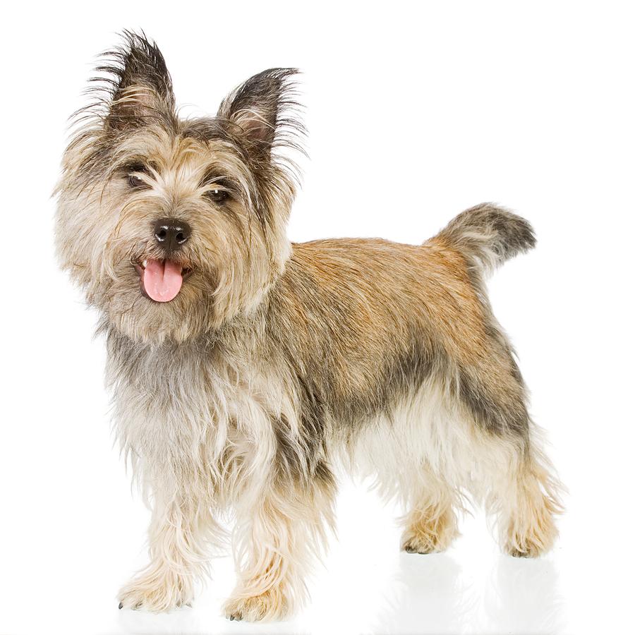 Cairn Terrier Dog: Cairn Cairn Terrier Newsletter Breed