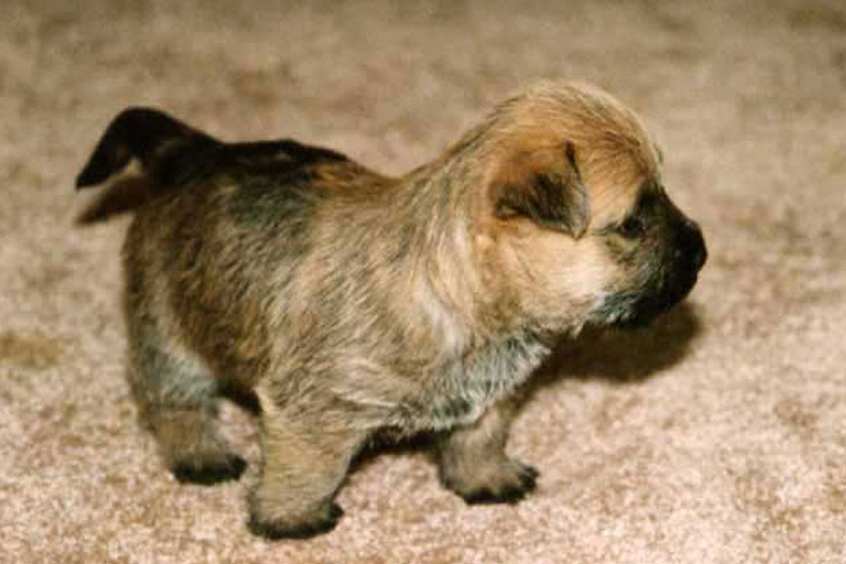 Cairn Terrier Puppies - Puppy Dog Gallery