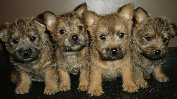 Cairn Terrier Puppies: Cairn Cairn Terrier Puppies S Breed