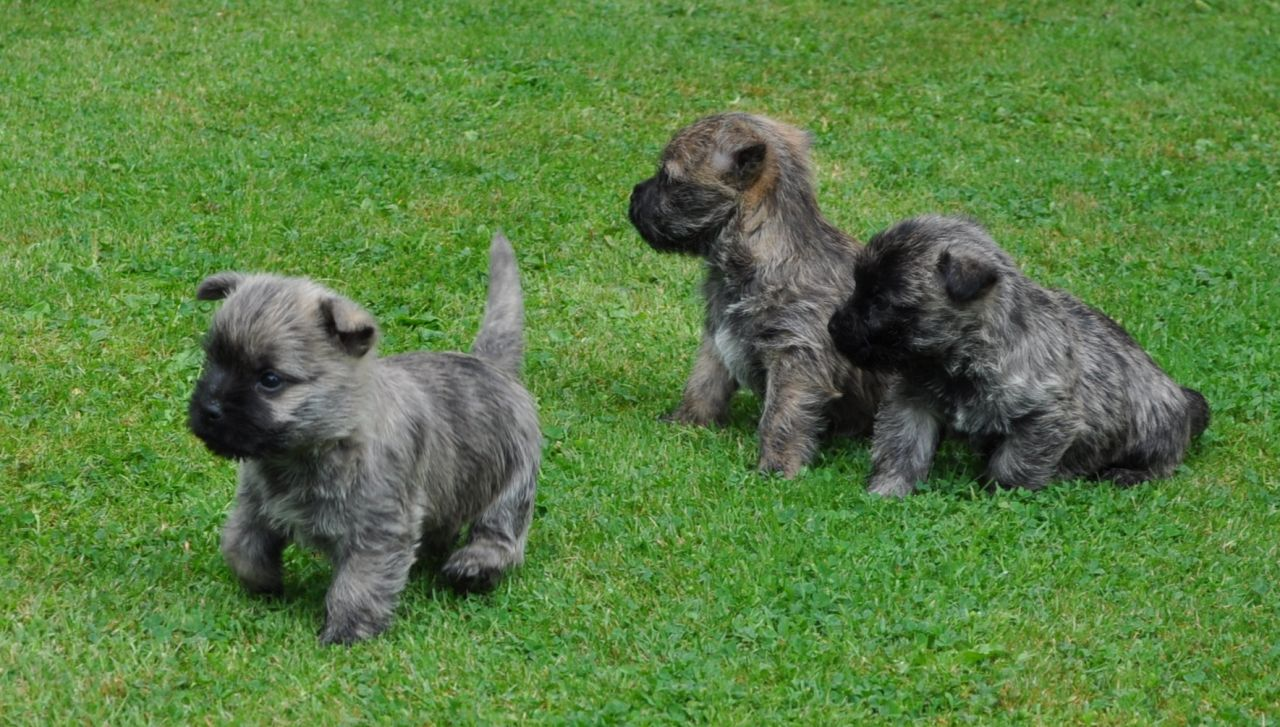 Cairn Terriers Puppies For Sale - Goldenacresdogs com