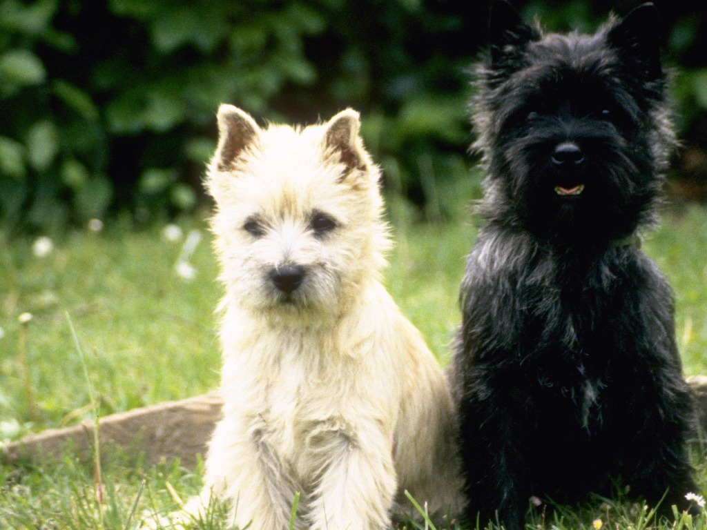 Cairn Terrier Puppies: Cairn Cairn Terrier Puppy Breed