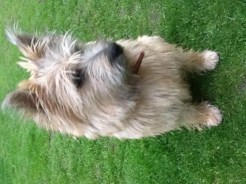 Cairn Terrier Dog: Cairn Cairn Terrier Stud Dog Red Patch Pirate Ilkeston Breed