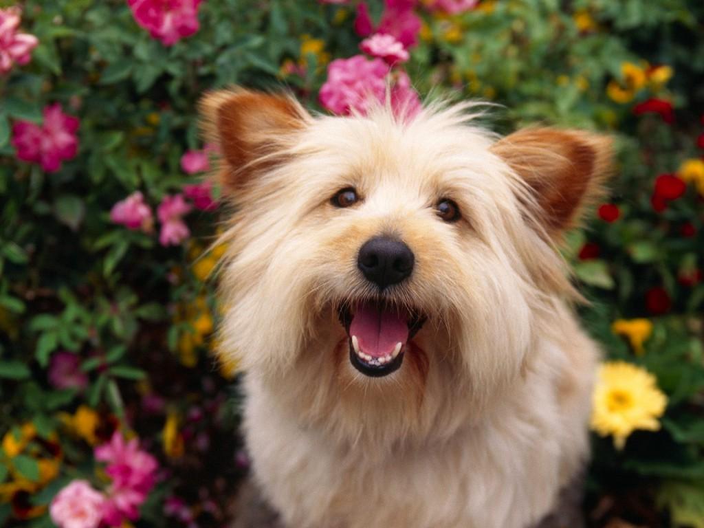 Cairn Terrier Dog: Cairn Cairnterrierdog Breed