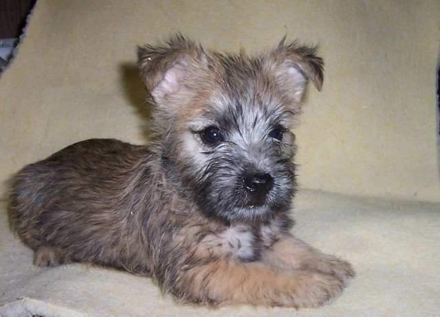 Cairn Terrier Puppies: Cairn Everett Everett Present Pets Teach Us So Much Radio Dr Cheri Smith Dvm On Pet Dentistry Breed