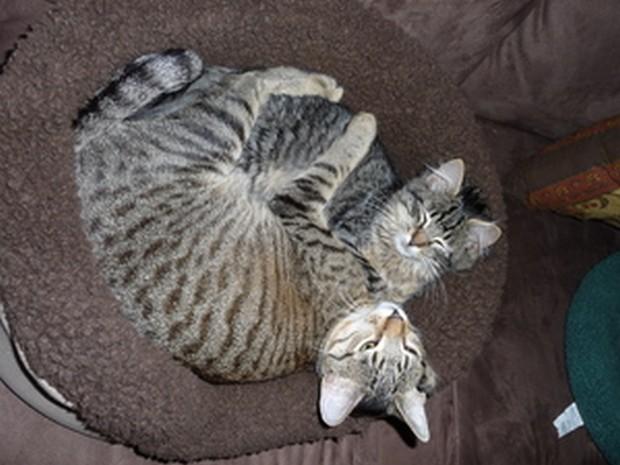 California Spangled Cat: California Breed