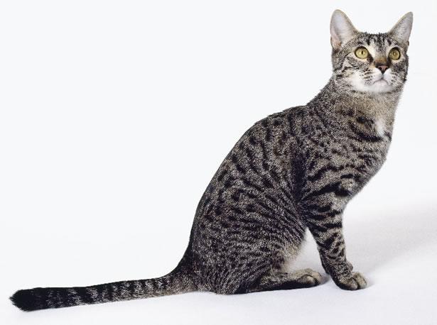 California Spangled Cat: California California Spangled Breed