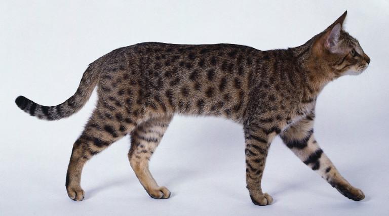 California Spangled Cat: California California Spangled Cat Breed