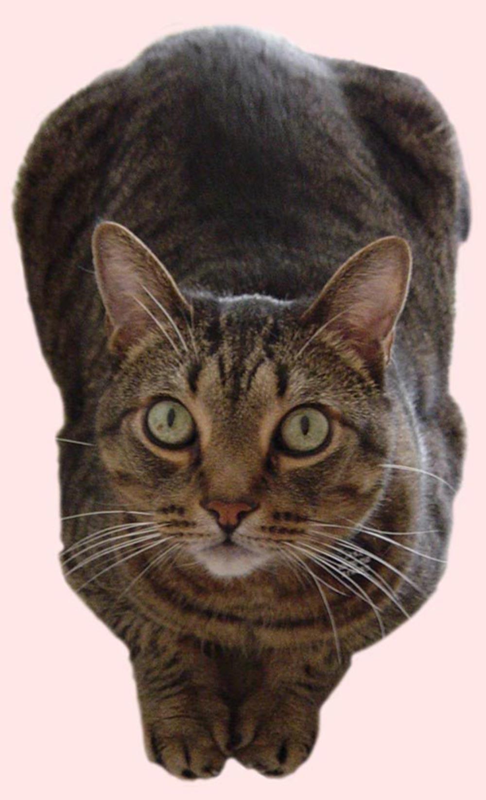 California Spangled Kitten: California California Spangled Cat Picture Breed