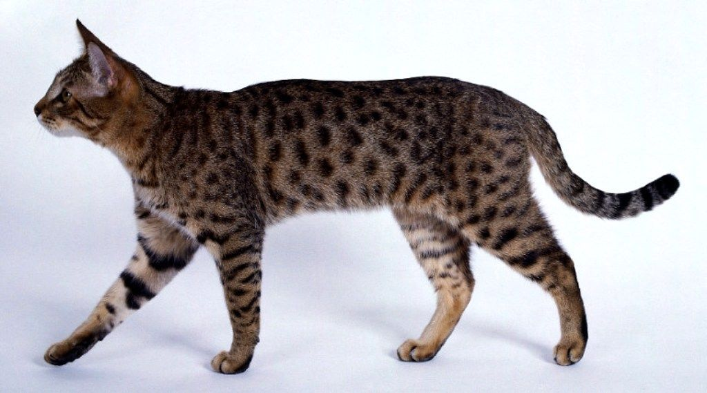 California Spangled Kitten: California California Spangled Cat Source Kucing Biz Breed