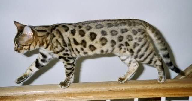 California Spangled Cat: California California Spangled Cats Breed