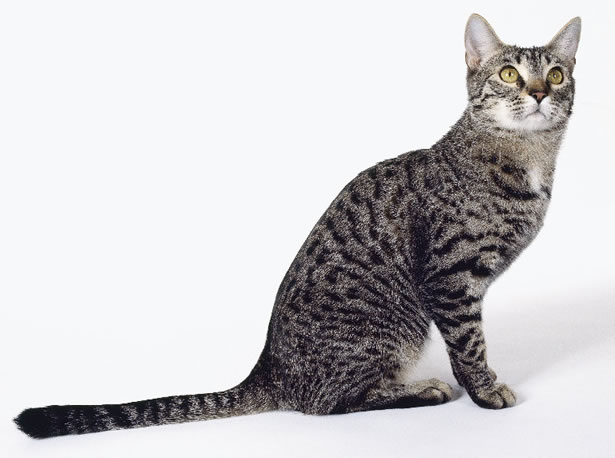 California Spangled Kitten: California Californiaspangled Breed